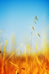Summer Breeze (Victoriano) Tags: wild summer plant macro nature colors contrast digital countryside spain dof wind bokeh wheat granada delicate breeze oats oat weare summerbreeze avena summercolors canon100mmf28 canon100mm canon100 thegoldenmermaid flogr thebestvivid