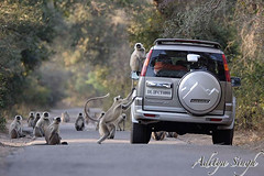 Langur on a car (dickysingh) Tags: wild india nature funny outdoor wildlife aditya monkeys amusing comical langur ranthambore singh primates ranthambhore dicky qemdfinchfunshotoftheweek ranthambhorebagh adityasingh dickysingh ranthamborebagh theranthambhorebagh carandmonkeys nginationalgeographicbyitalianpeople