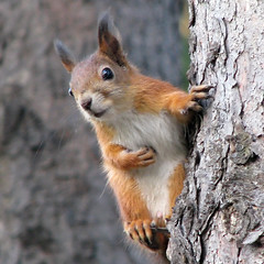 Fall Fashions (Tomi Tapio) Tags: boy tree male cemetery pose fur helsinki squirrel powershot cureuil hietaniemi sciurusvulgaris eurasianredsquirrel canonpowershots5is