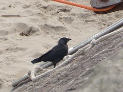 Jackdaw by Moorings 2 (Queenbie) Tags: sea birds aberdeenshire harbour stonehaven jackdaw