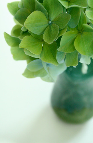 Blue hydrangea goes green