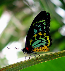 Cairns birdwing (Abizeleth) Tags: blue red black green yellow butterfly australia lepidoptera queensland multicolored birdwing kuranda athertontablelands naturesfinest bigmomma papilionidae cairnsbirdwing ornithoptera babymomma ornithopterapriamus ultimateshot superbmasterpiece diamondclassphotographer colourartaward artlegacy pfogold