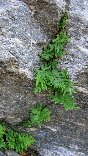 Rock Ferns