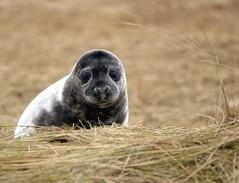 Grey Seal Pup (digitaldinosaur) Tags: grey lincolnshire seal pup nook donner