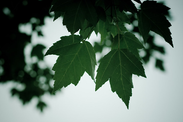{175/365} maple leaves at dusk