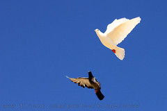 ( [ Libya Photographer ]) Tags: pigeon dove doves