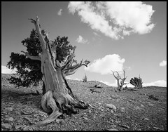 sun worshipper (stormiticus) Tags: blackandwhite bw tree film whitemountains 4x5 rodinal largeformat bristlecone bristleconepine 75mm efke caltar 25pl