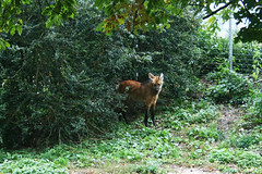 Mähnenwolf / Maned wolf