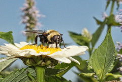 Bee Having Lunch (NjCarGuy) Tags: flowers flower macro closeup bee pollen bumble