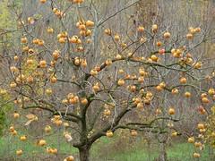 08.11.2010 (gzammarchi) Tags: italia natura campagna albero paesaggio collina cachi caco frutto camminata itinerario molinonuovo castelsanpietrobo