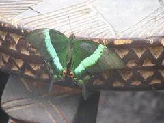 Green bfly