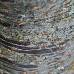 (Artiii) Tags: wood newzealand tree texture lilac marco napier churchroad