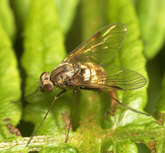 "Fly 'Family Athericidae'(2) • <a style=""font-size:0.8em;"" href=""http://www.flickr.com/photos/57024565@N00/542688446/"" target=""_blank"">View on Flickr</a>"