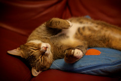Shhh................... (Hina :-)) Tags: sleeping pet cute home comfortable cat fun nap adorable sofa mao rest paws hina cushion monkie maomao comfy myboss lazypig