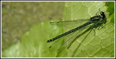 greeney blue damsel fly copy