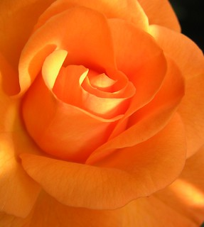 my orange rose V