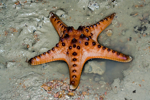 knobbly star