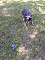 "Bricki and her ball (""Lah-Rah"") Tags: dog pet ball australiancattledog blueheeler bricki"