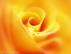 Rose Rose I love You  (Kelvin Wong (aka PiscesRomance)) Tags: flower macro love nature rose yellow flora soft poem glow saturday romance yellowrose softfocus wendy foryou tender aplusphoto superhearts intwomountains kelvinwong piscesromance