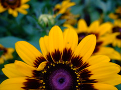 Rudbeckia (natl1046) Tags: plant flower color macro nature fleur yellow colorful bright rudbeckia flowerpicturesnolimits