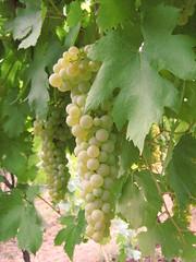 Garganega (Weingarten) Tags: wine raisins verona badge grapes vin uva wein veneto soave traub vinobianco vérone venetien vénétie