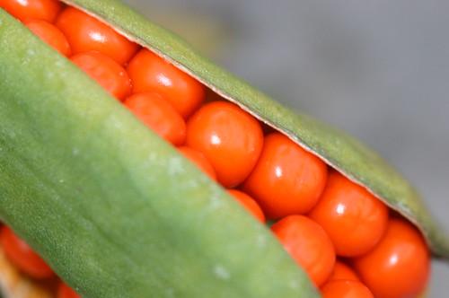 Orange Berries in a Pod