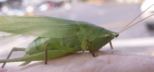Female Katydid 4