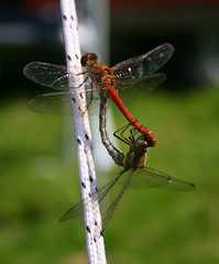 Copulating Dragonflies (Time Grabber) Tags: red insect dragonflies explore mating anawesomeshot timegrabber photosexplore