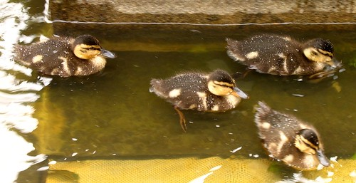 Baby Irish Ducks