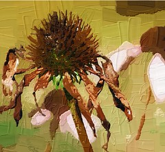 coneflower oil