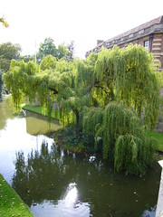 Eltham Palace Willow