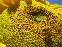 SunFlower (A.T.E.F.E.H) Tags: sun flower fly been sunflower زنبور مایکرو آفتابگردان سوپر عاطفه عاطی شهشهانی