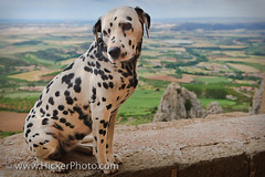 Dalmation dog at the Castillo de Loarre Spain (Rolf Hicker Photography) Tags: cute dogs animals spain europe aragon castillodeloarre canisfamiliaris