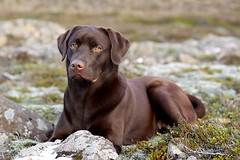 The Model (Olafur Valsson) Tags: dog labrador chocolate vaka valshamars