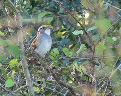 White-throated Sparrow - 1