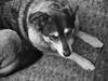 Paws Down (Joel Kluger (Canis latrans)) Tags: blackandwhite dogs olympus iphoto isabel e3 highiso coydog olympuszuikodigital1454mmf2835