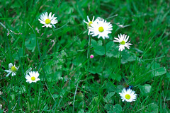 Beatle Mania IX (Bill Liao) Tags: scarabaeidae billliao gardenchafer