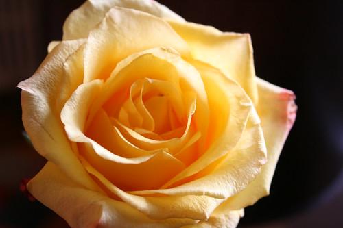 yellow rose — June 3