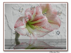 Bubbly Amaryllis (ClaraDon) Tags: coolest blueribbonwinner flowerotica anawesomeshot favoritesonly ultimateshot ultimateshots searchandreward
