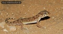 Lichtenstein's Short-fingered Gecko (Stenodactylus sthenodactylus) ישימונית מצויה