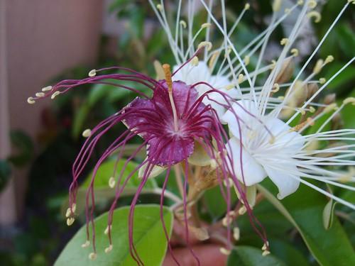 Jamaican Caper Blossoms
