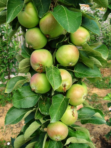 Dwarf fruit trees perfect for the apartment garden