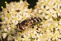 "Hoverfly (Scaeva pyrastri)(1) • <a style=""font-size:0.8em;"" href=""http://www.flickr.com/photos/57024565@N00/736818807/"" target=""_blank"">View on Flickr</a>"