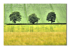 Three Trees (Magdalen Green Photography) Tags: trees green field yellow rural landscape golden scotland three cool dundee scottish tayside