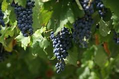 Parras de la fuente (uvas) (anuar_reynam) Tags: mexico wine taste grape coahuila vino uvas vinotinto parras