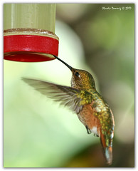 You Should Drink at Least 2 Liters a Day... (Fraggle Red) Tags: nature hummingbird florida feeder butterflyworld coconutcreek canonef70200mmf4lisusm wingsoftheworldaviary browardco mrcleansbird