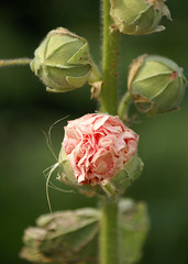 stokroos - knoppen (atsjebosma) Tags: pink flower holland nature garden europa thenetherlands natuur buds tuin hollyhock bloem knoppen stokroos ultimateshot