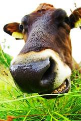 mad cow (alternativefocus) Tags: norway closeup cow pentax madcow gurn gurning pentaxk10d alternativefocus