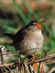 Wringing (WestLothian) Tags: wild bird nikon wren nikkor troglodytes 70200mmf28gvr tc17eii d80