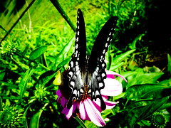Butterfly (mike.palic) Tags: flower green colors grass butterfly lunch wings bugs eat
